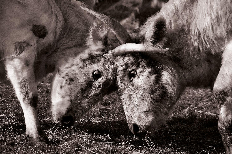 Exhibition design for Chillingham Wild Cattle Association